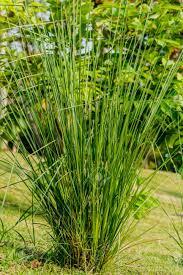 گیاه وتیور گیاه وتیور ابزار مدیریت جامع در آبخیزداری بخش سوم            2
