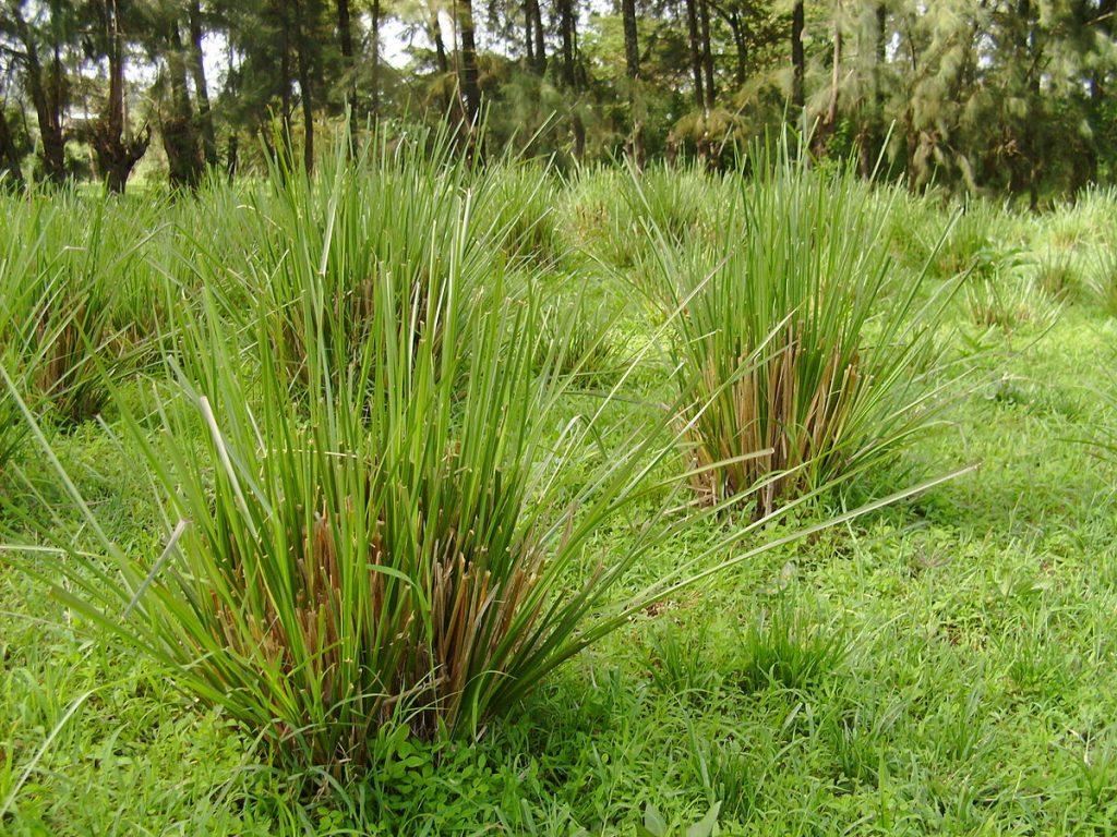 گیاه وتیور گیاه وتیور ابزار مدیریت جامع در آبخیزداری بخش سوم Ethiopia 2008 vetiver grass 1024x768