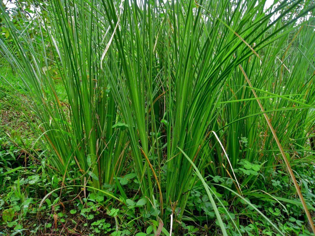 گیاه وتیور گیاه وتیور ابزار مدیریت جامع در آبخیزداری ewyr4717a 1024x768