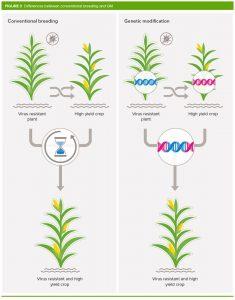 اصلاحات ژنتیکی یا اصطلاحا GM تکنولوژی ای میباشد که شامل تزریق دی ان ای به ژنوم یک ارگانیسم است. برای تولید یک محصول اصلاح ژنتیکی شده باید دی ان ای جدیدی به سلول های محصول انتقال پیدا کنند. معمولا پس از این مرحله به پرورش سلول ها پرداخته میشود تا تبدیل به گیاهان و محصولات مدنظر شوند. دانه هایی که از این محصولات و گیاهان بوجود می آیند دی ان ای اضافه شده در مرحله قبلی را به ارث میبرند. اصلاح ژنتیکی اطلاح ژنتیکی محصولات کشاورزی figure 3 800 px 235x300