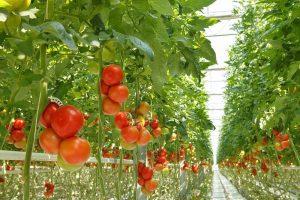سیستم جزر و مد کشت هیدروپونیک سیستم جزر و مد hydroponics tomatoes 300x200