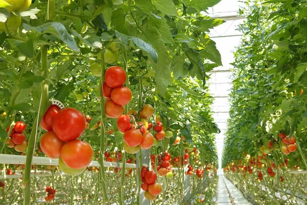 سیستم جزر و مد کشت هیدروپونیک سیستم جزر و مد hydroponics tomatoes